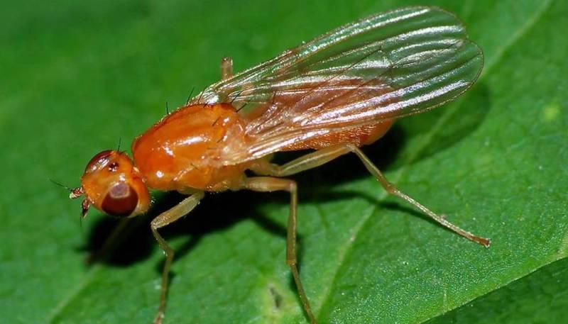 Як сівозміна та щільність посіву можуть вплинути на інтенсивність нападів морквяної мухи?
