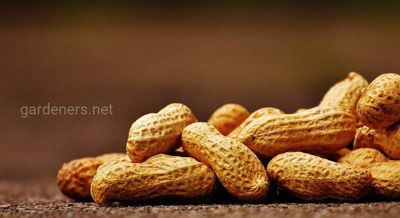 Польза арахиса.jpg