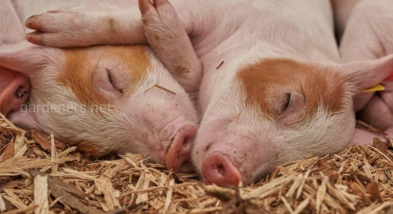Як зважити свиню