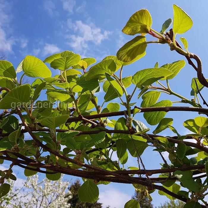 Выращивание киви в Украине. Посадка, уход и размножение