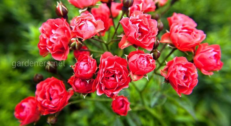 Какие места лучше всего подойдут для выращивания полиантовых роз? Какие из них наиболее востребованные?