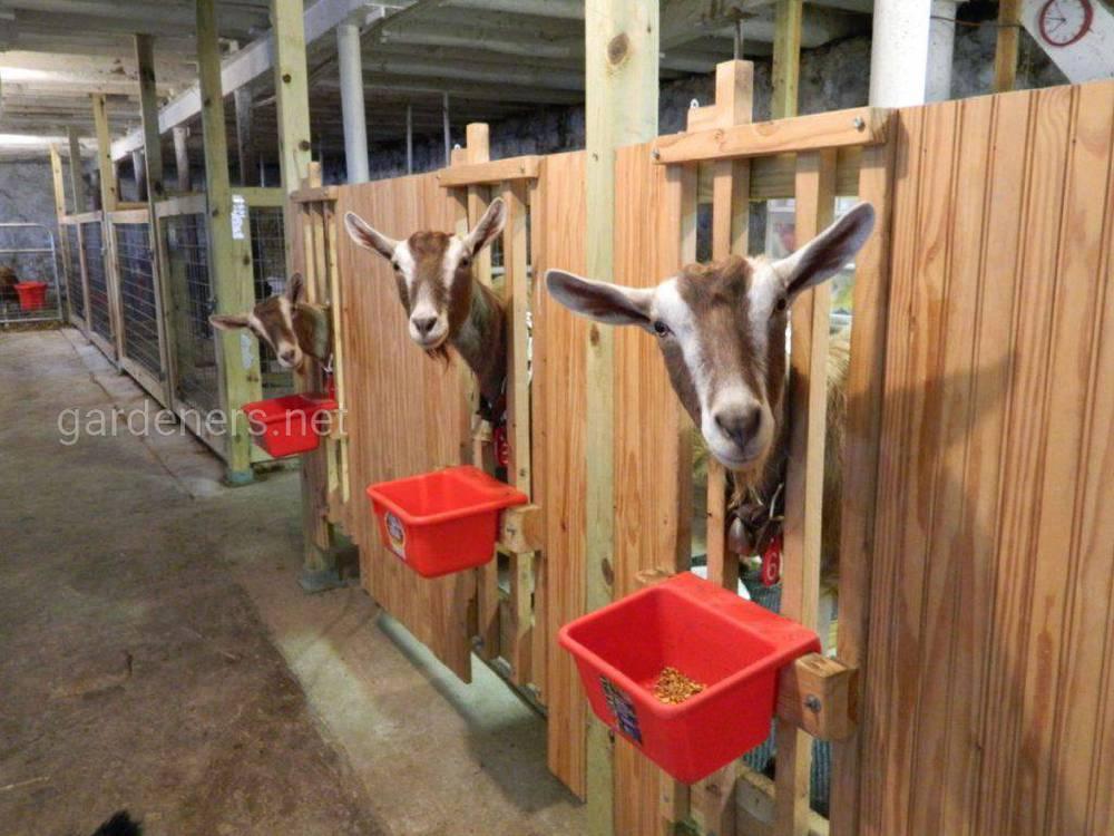 Делаем станок для доения коз своими руками