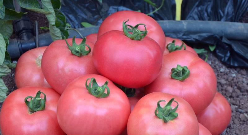 Як запобігти розтріскуванню плодів помідорів?