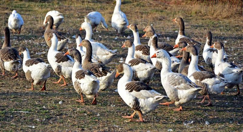 Розведення та утримання гусей в домашніх умовах