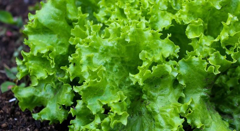 Выращиваем салат на продажу в теплице