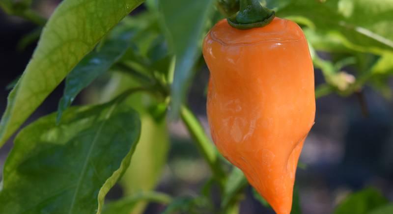 Острый перец Хабанеро, или капсикум китайский: белый, красный, шоколадный, желтый