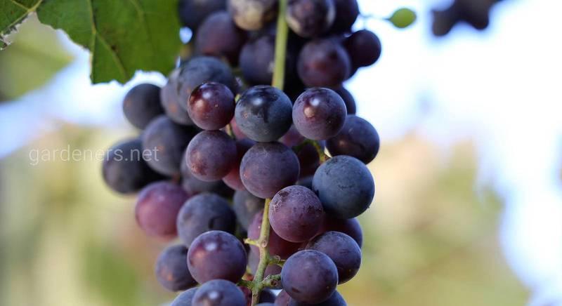 Кращі сорти винограду