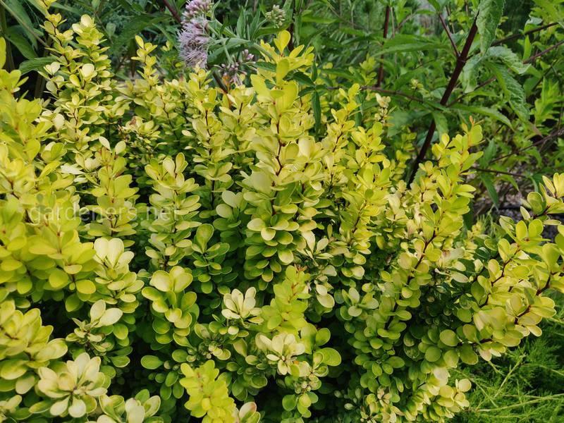 С какими растениями гармонично сочетается самшит