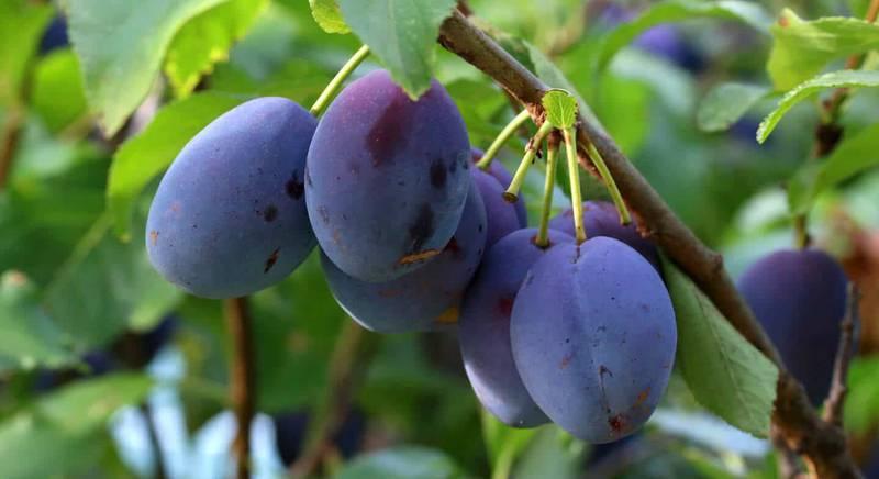 Слива - популярное плодовое дерево. История и интересные факты