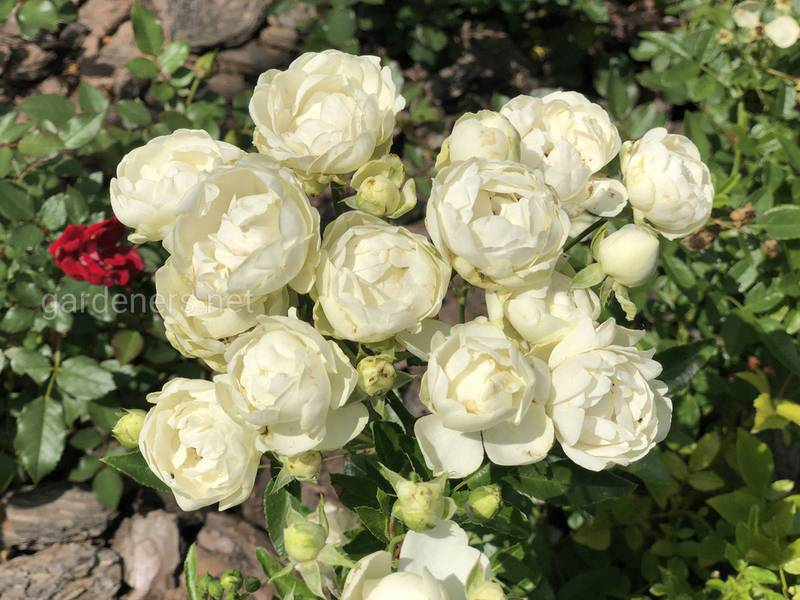 Как пересадить взрослую розу на новое место?