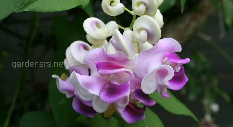 цветы улитки - Вигна Каракалла.jpg