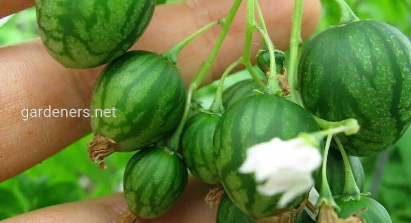 Динна ягода, або тзімбало: що за фрукт і з чим його їдять