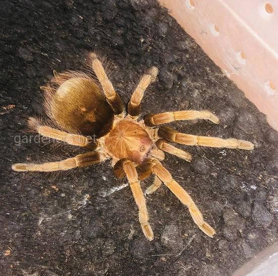Утримання павука в домашніх умовах
