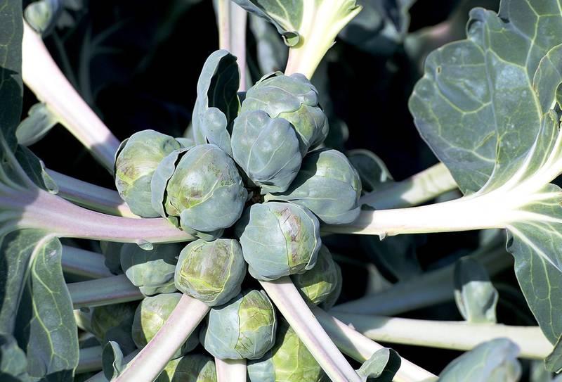 Підгодовуємо брюссельську капусту