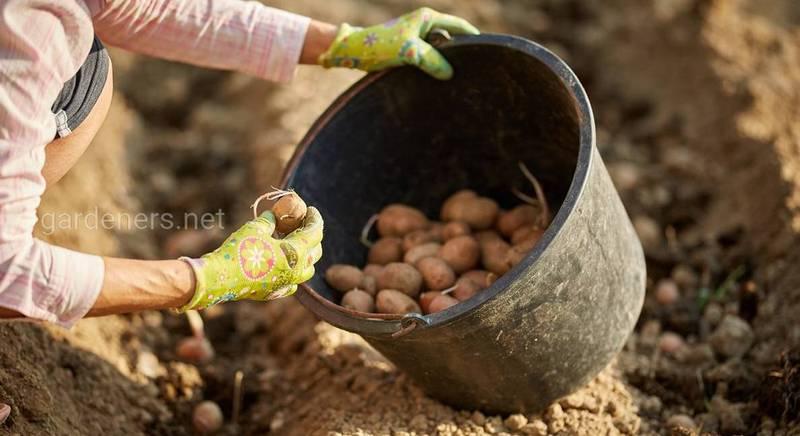 Советы для посадки картофеля в теплице