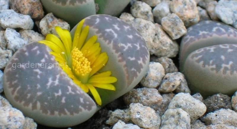 Литопсы - живые камни для дома. Как правильно ухаживать?