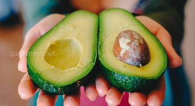 Что приготовить из авокадо? Полезные свойства авокадо
